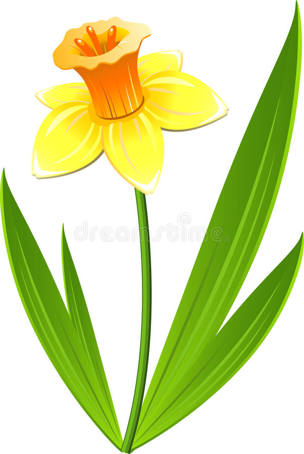 Free Narcissus Flower Royalty Free Stock Photo - 13535725