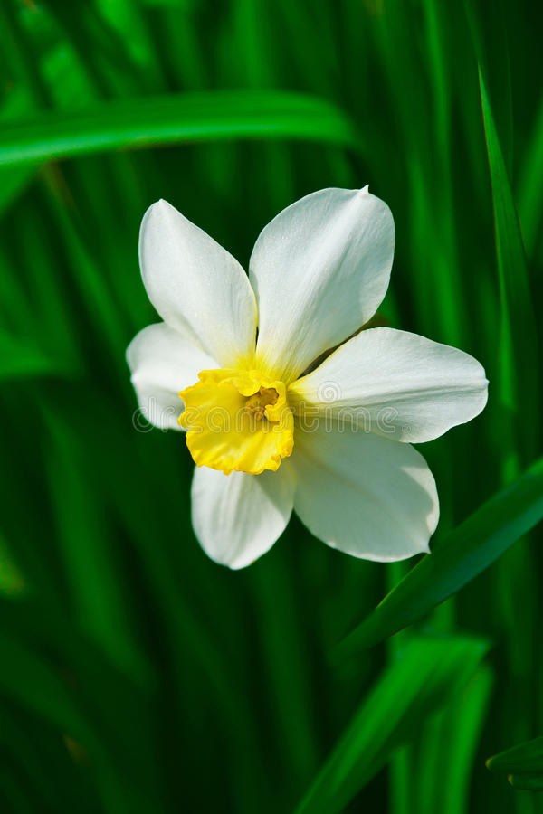 Free Narcissus Flower Stock Images - 43603764