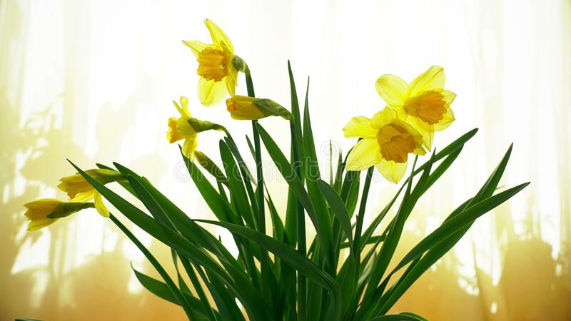 Narcissus flower bouquet on the window opening its blossom, blooming time lapse, yellow spring background. Video royalty free stock images
