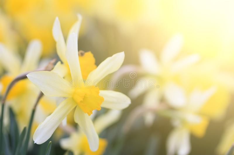 Narcissus flower in bright sunlight. On a warm spring day royalty free stock photos