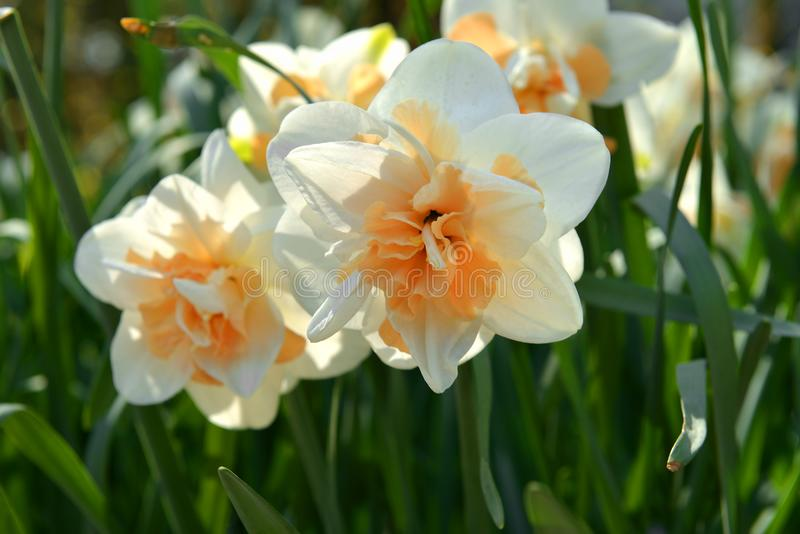 Narcissus Flower Parade Double-fleuri, plantes vivaces de ressort de famille d'amaryllis d'Amaryllidaceae images stock