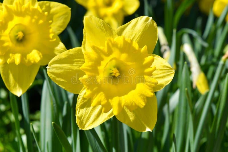 Narcissus flower. A narcissus flower in Vaduz, capital of Liechtenstein stock photo