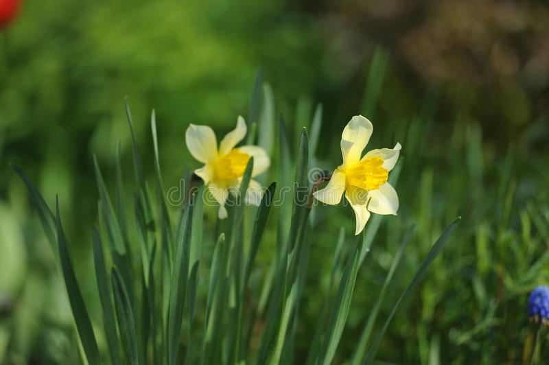 Narcissus. On the flowerbed in beginnig of summer royalty free stock photography