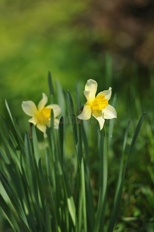 Narcissus. On the flowerbed in beginnig of summer stock images
