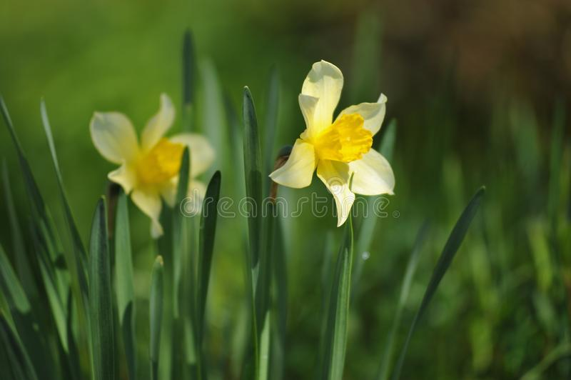 Narcissus. On the flowerbed in beginnig of summer stock photos