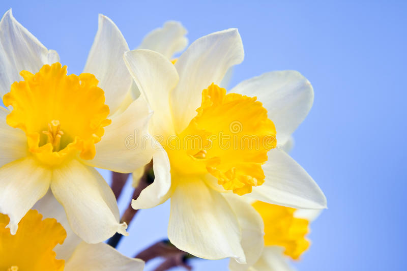 Download Narcissus flowers stock image. Image of flora, green - 13542161