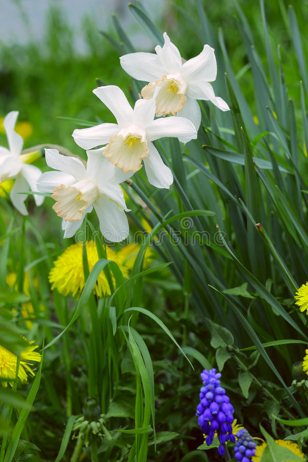 Download Narcissus flowers stock photo. Image of grass, close - 26988994