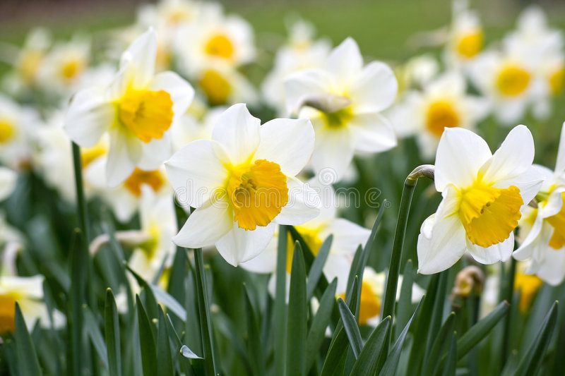 Download Narcissus flowers stock photo. Image of narcissus, daffodil - 8895444