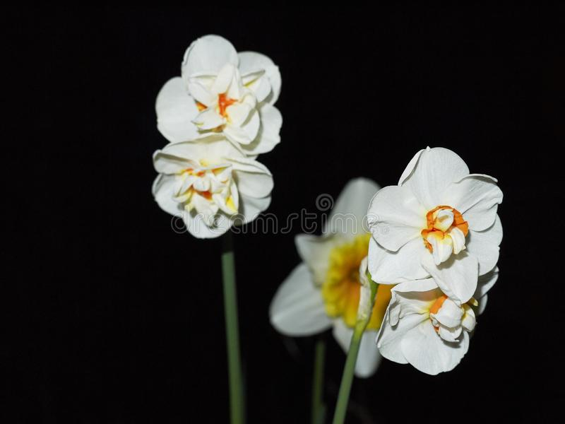 Narcissus Flowers blanc et orange images stock