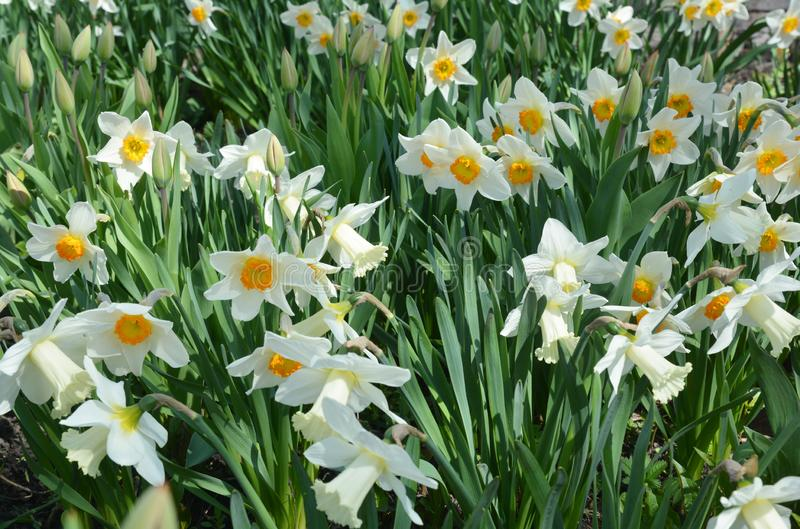 Narcissus flowers flower bed with drift yellow. White double daffodil flowers narcissi daffodils. Photo stock image