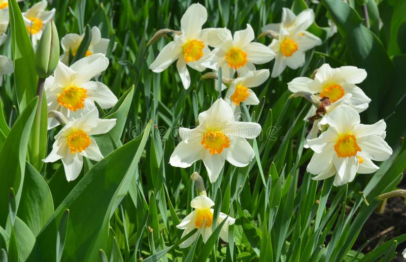 Narcissus flowers flower bed with drift yellow. White double daffodil flowers narcissi daffodils. Narcissus flower also known as. Daffodil, daffadowndilly stock image
