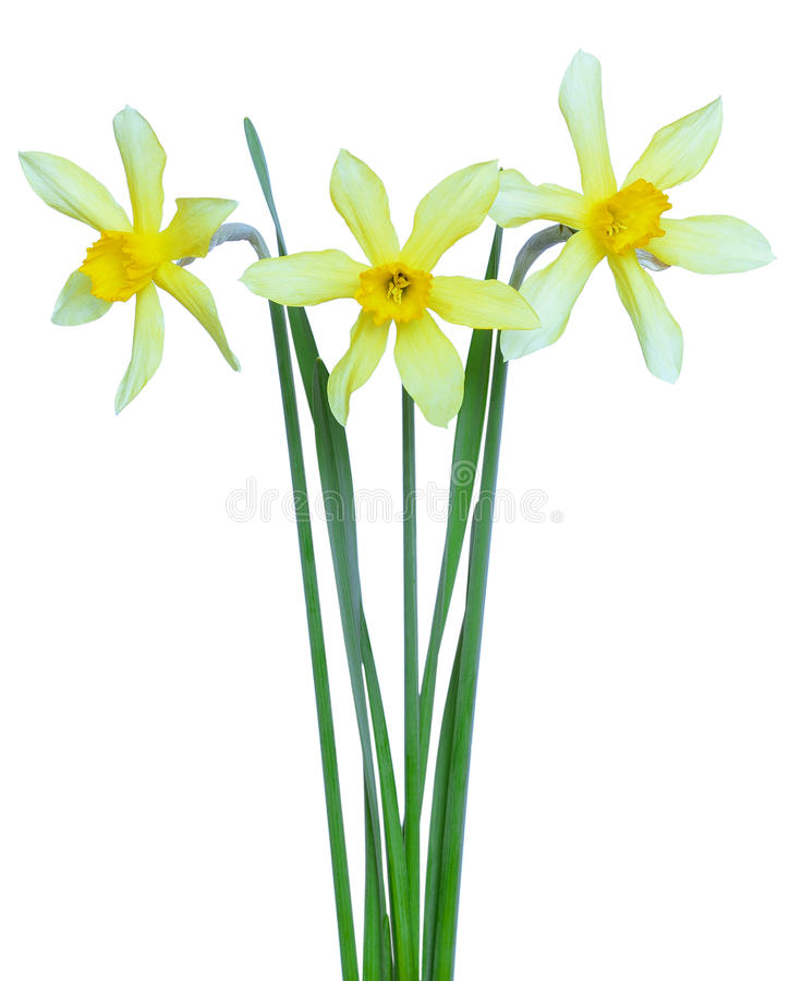 Narcissus flowers. Isolated on a white background stock photos