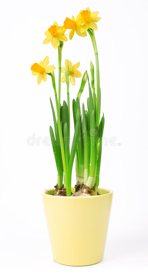 Narcissus flowers in pot isolated on white background. Yellow flowers royalty free stock image