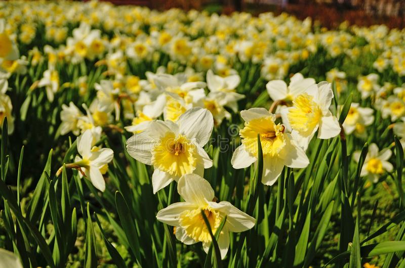 Narcissus flowers with white petals and a yellow center royalty free stock photography