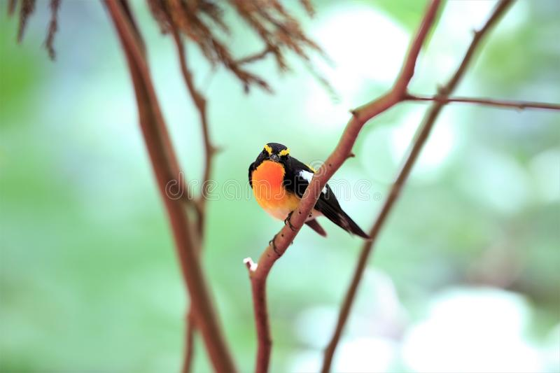 Narcissus Flycatcher male in Japan. Narcissus Flycatcher Ficedula narcissina male in Japan stock photo