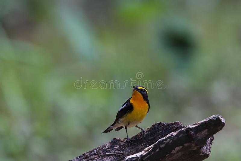 Narcissus Flycatcher. On the wood stock photography