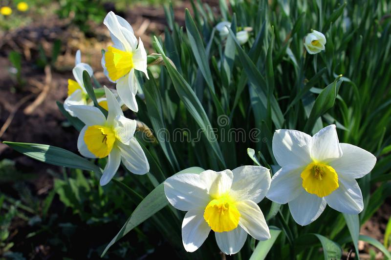 Narcissus in the garden Amaryllis stock images