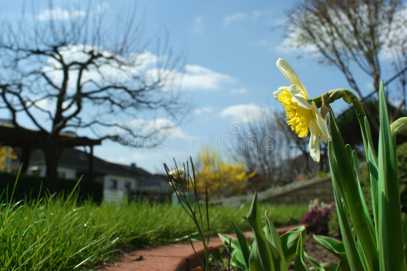 Narcissus in a garden stock photography