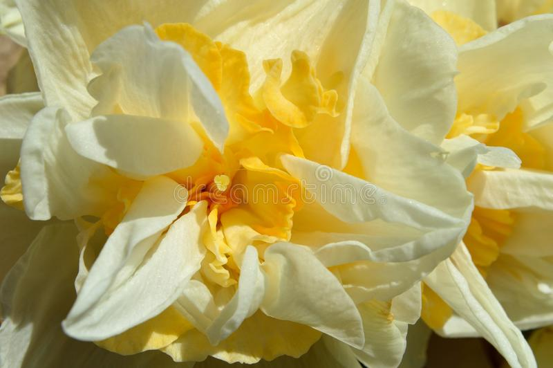 Macro Double Daffodil Narcissus White and Yellow blossom. Narcissus is a genus of predominantly spring perennial plants of the Amaryllidaceae amaryllis family royalty free stock images