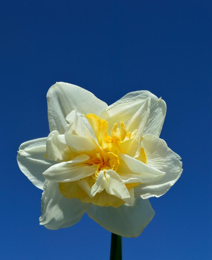 Double Daffodil Narcissus White and Yellow on blue sky background. Narcissus is a genus of predominantly spring perennial plants of the Amaryllidaceae amaryllis stock photos