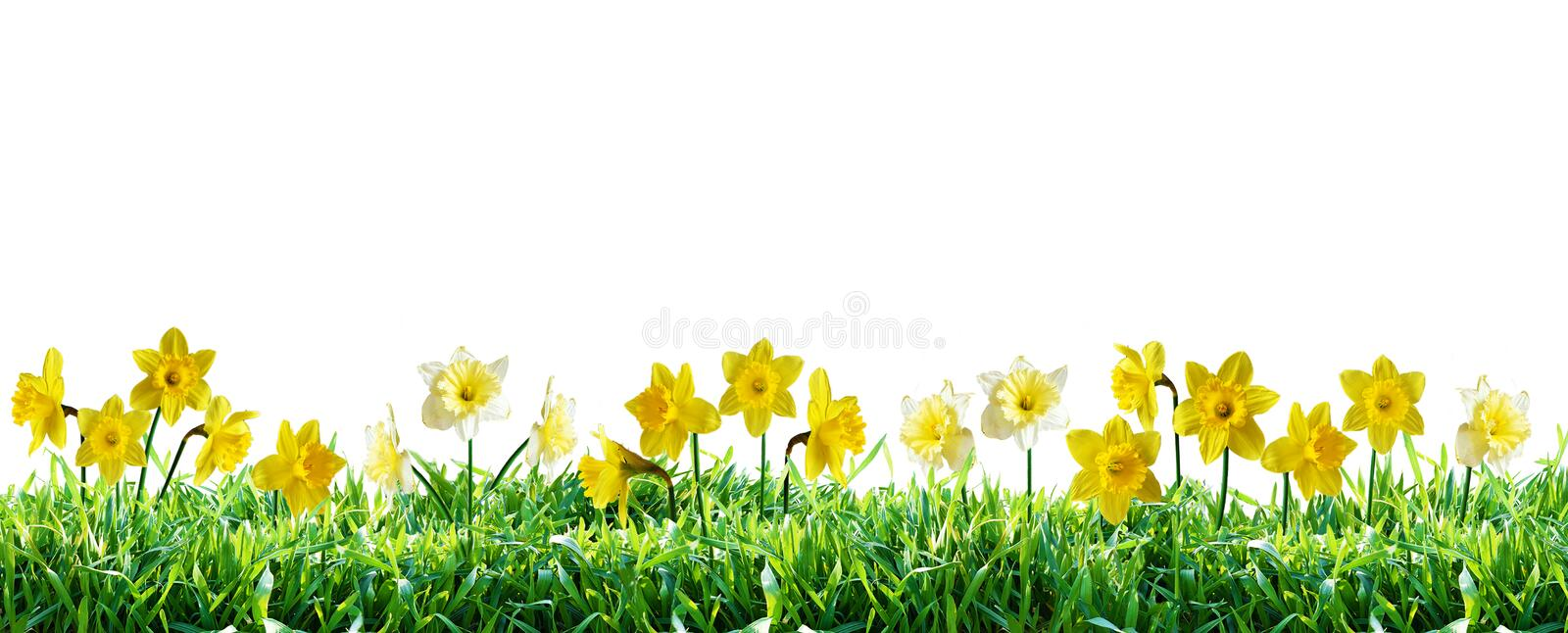 Narcissus in green grass. Spring border. Narcissus in green grass. Natural spring border. Isolated on white background. Isolation is on a transparent layer in royalty free stock photos
