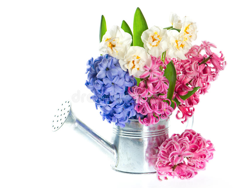Narcissus and hyacinth. spring flowers royalty free stock photo