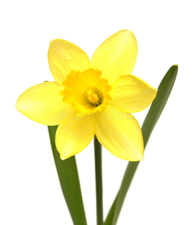 Narcissus. Isolated on white background royalty free stock photos