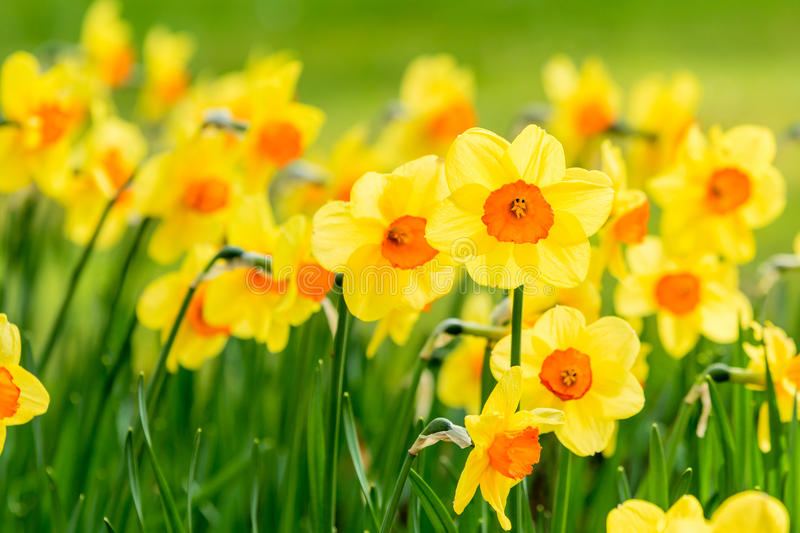 Narcissus. Lovely field with bright yellow and orange daffodils (Narcissus). Shallow dof and natural light stock photo