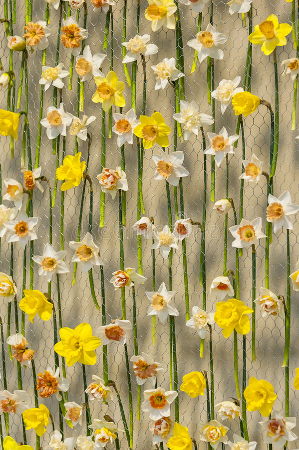 Narcissus on metal net. White and yellow narcissus on metal net on white wall stock image