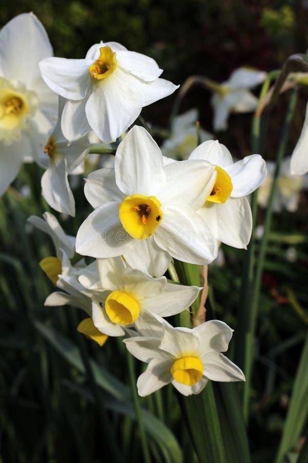 Narcissus Minnow foto de stock