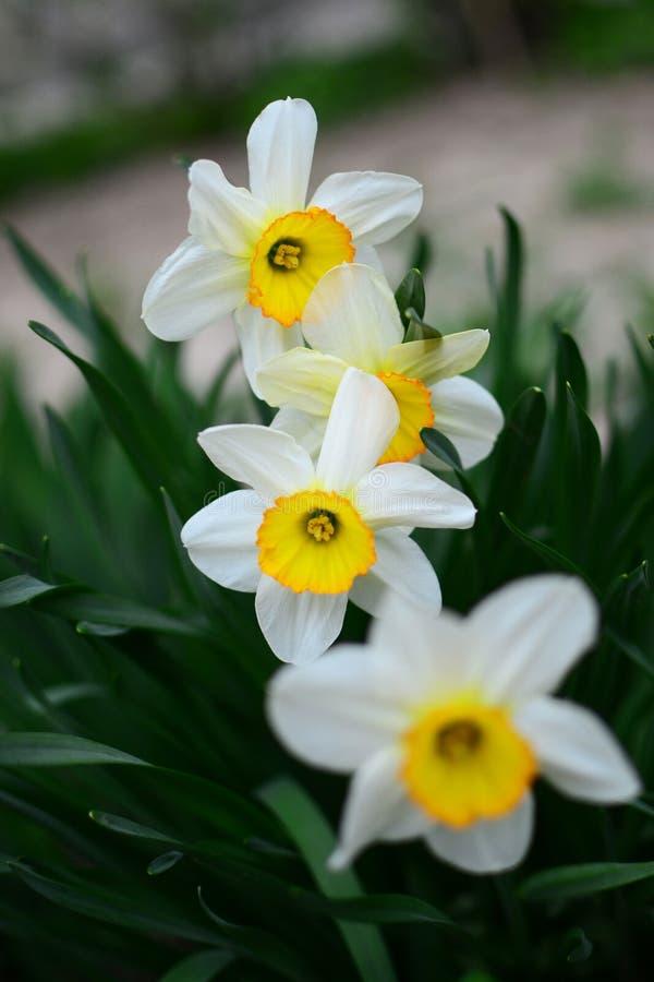 Narcissus mythology royalty free stock image
