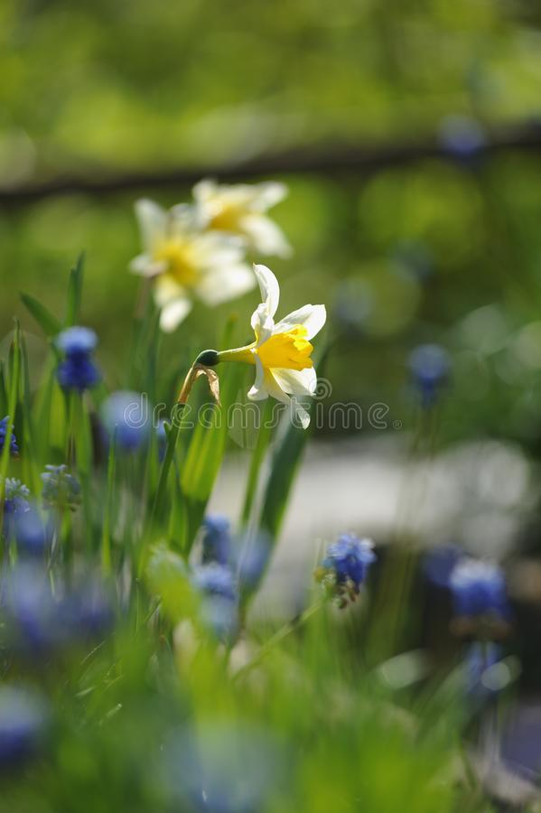 Narcissus. On the flowerbed in beginnig of summer royalty free stock photos