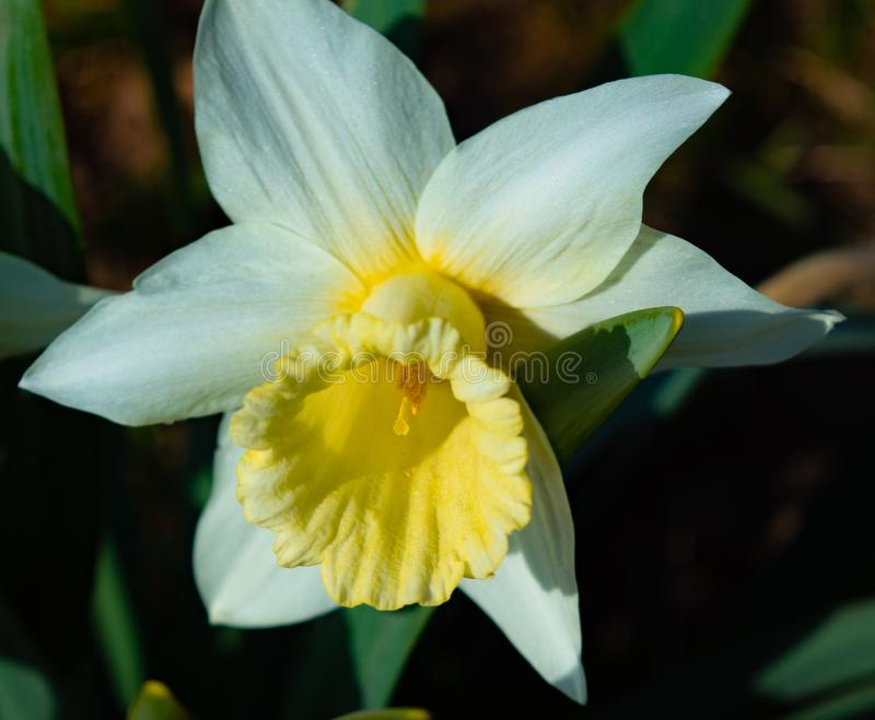 Narcissus nature flora. Plant summer stock photography