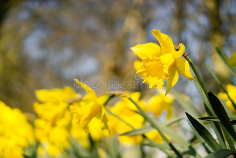 Narcissus or daffodils flowering in spring.. royalty free stock images