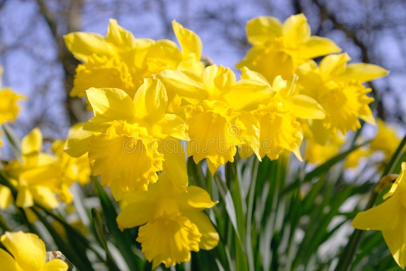 Daffodils flowering in spring.. royalty free stock images