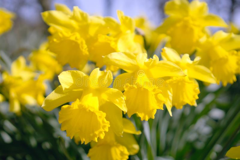 Daffodils flowering in spring.. royalty free stock image