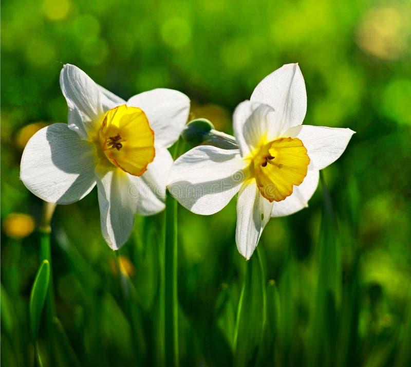 Narcissus stock photo
