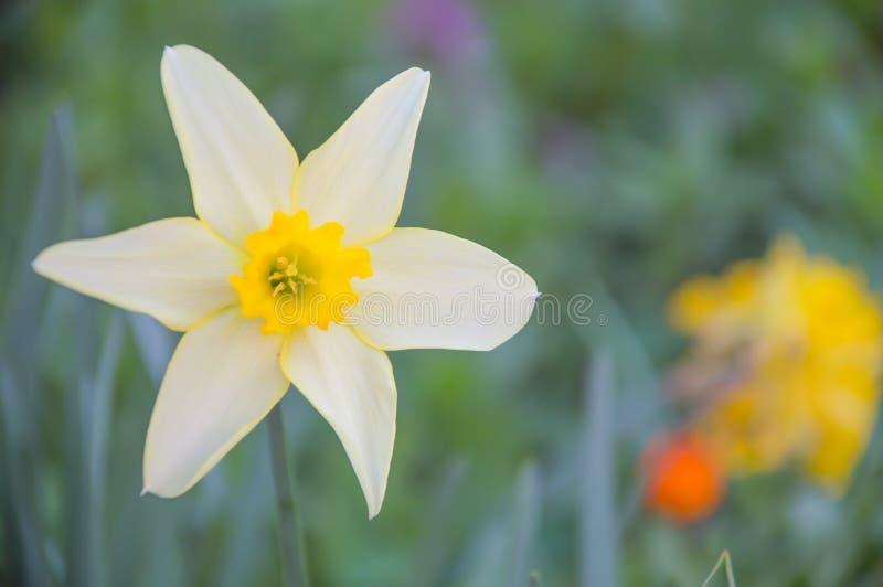 daffodil(Narcissus pseudonarcissus L.) stock photography
