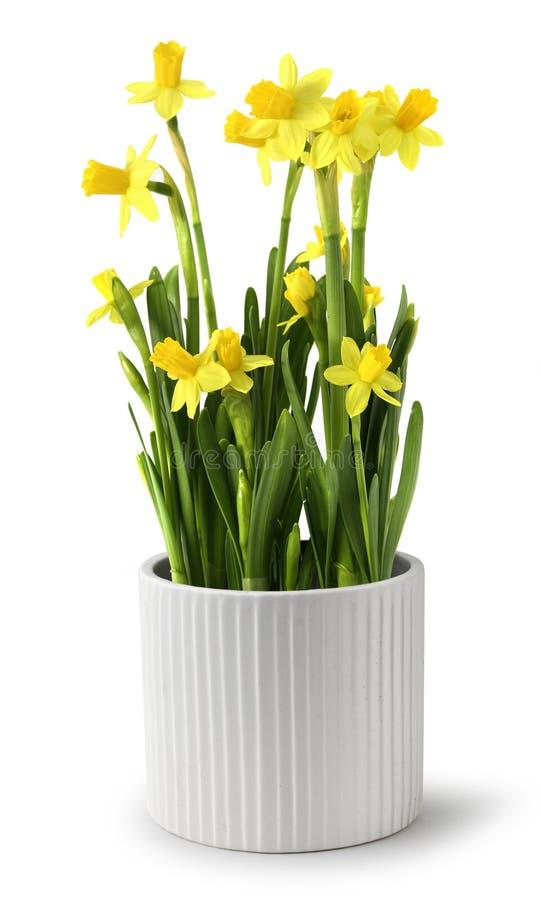 Free Narcissus Pot Stock Image - 13523971