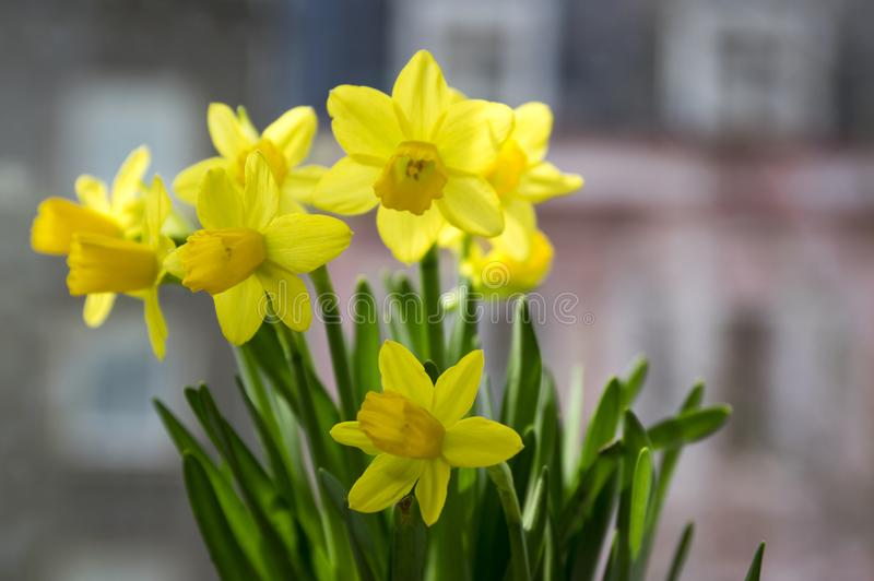 Narcissus pseudonarcissus in bloom, yellow daffodils. Springtime bulbous flowers in sunlight stock image