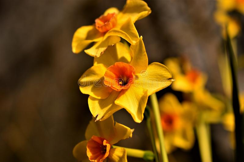 Narcissus Red Devon, heldere kleuren in de zon royalty-vrije stock foto's