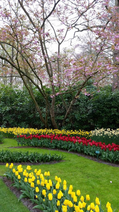 Narcissus and red and yellow tulips in front of a blooming pink tree royalty free stock photos