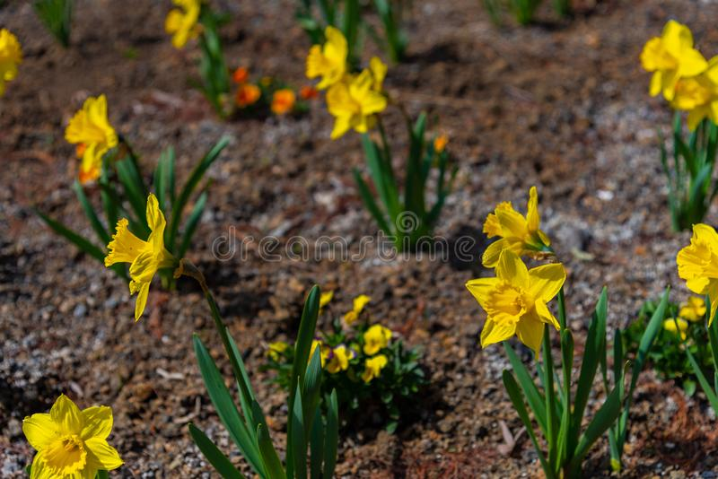 Narcissus in Spring. Blooming daffodils, Spring bulbs stock image