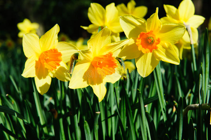 Narcissus royalty free stock photos