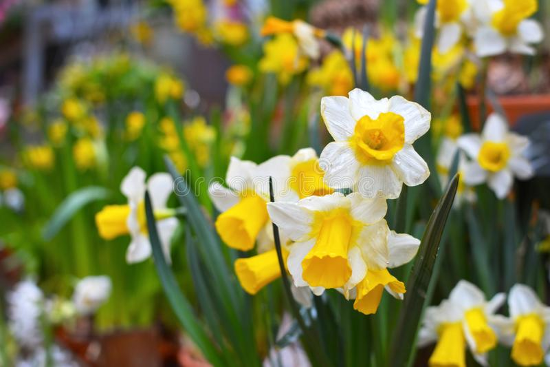 Narcissus Tazetta spring flowers with white petals and yellow trumpet on blurry background with other flowers stock photo