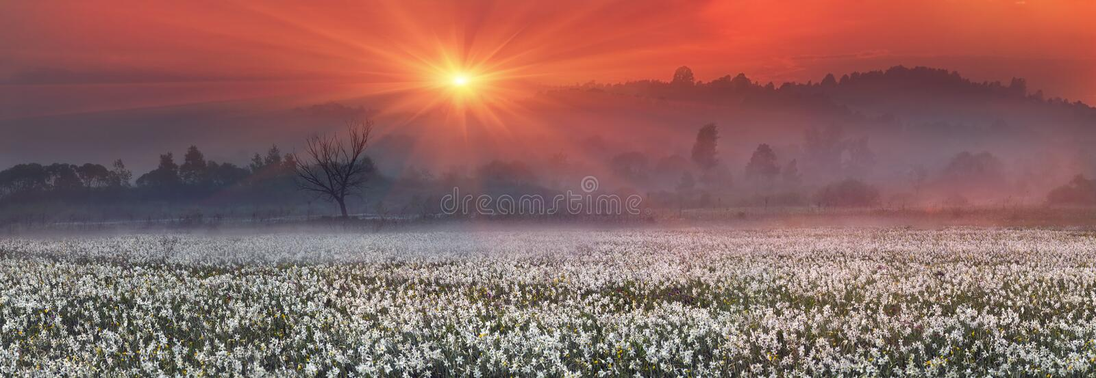 Narcissus Valley. In Ukraine, Hust-famous city a sanctuary in Transcarpathia, where the alpine fields grow beautiful spring wild daffodils. Mountains in the royalty free stock photos