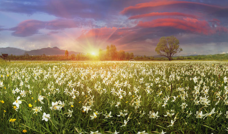 Narcissus Valley. In Ukraine, Hust-famous city a sanctuary in Transcarpathia, where the alpine fields grow beautiful spring wild daffodils. Mountains in the stock images