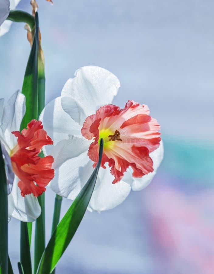Narcissus Wite с оранжевой серединой стоковые фотографии rf