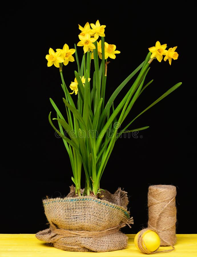 Narcissus in yellow colour and green leaves growing in pot. Narcissus in bright yellow colour and green leaves growing in pot wrapped with sackcloth standing royalty free stock photo