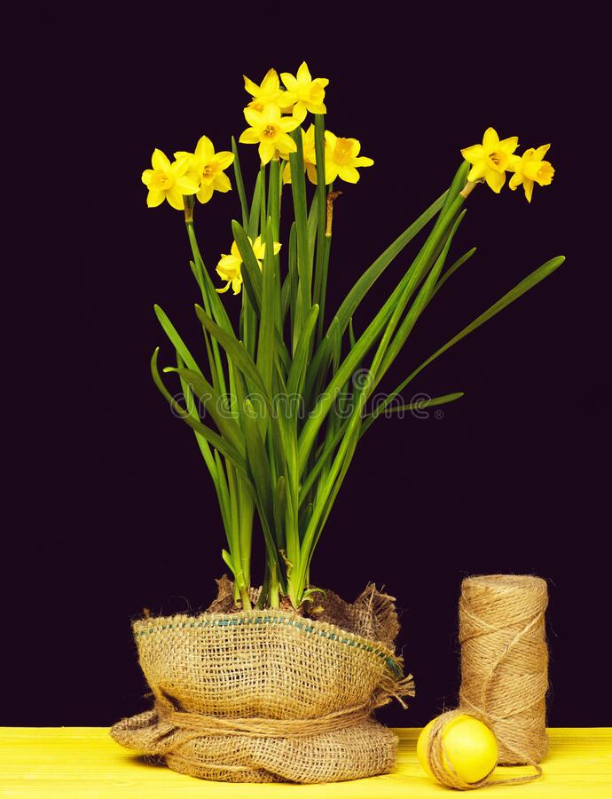 Narcissus in yellow colour and green leaves growing in pot. Narcissus in bright yellow colour and green leaves growing in pot wrapped with sackcloth standing stock image